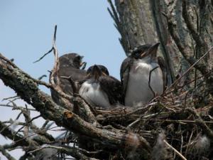 birds_in_nest